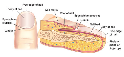 Nail renew fungal formula overview